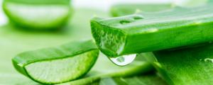 Gel Tropfen der Pflanze Aloe Vera